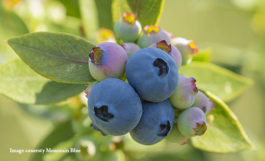 Blueberries from Mountain Blue