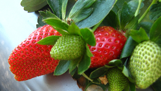 Strawberries growing in the garden